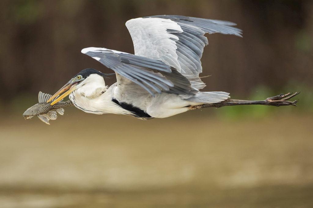 uccello-pantanal